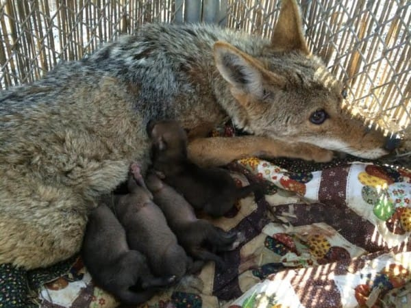 coyote-blessè avec ses 4 bébés